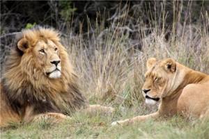 lions velavadar