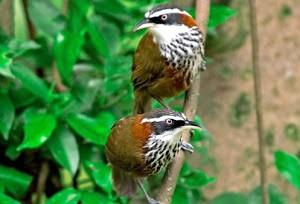 namdapha national park bird