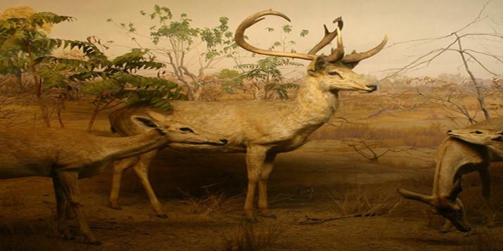 sangai deer
