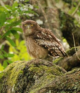 Brown fishing owl