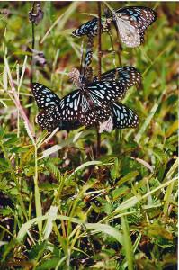 Dark Blue Tiger butterflies at Biligiriranga temple wildlife sanctuary