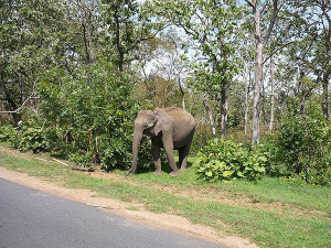 Elephant Trying to Cross the road