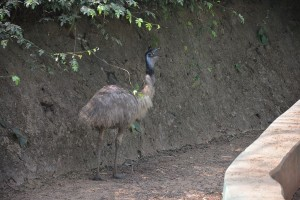 Emu at Nandankanan