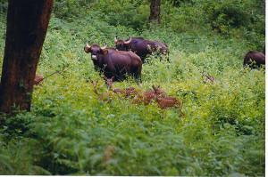 Gaur and Chital deer grazing together at Biligiriranga wildlife sanctuary