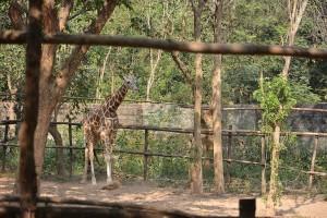 Giraffe at Nandankanan