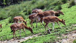 Grazing Deers Bhitarkanika National Park