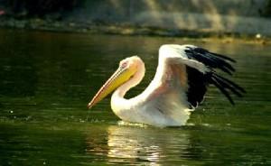 Karnala Bird Sanctuary duck1