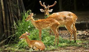 Malsi Deer Park 2
