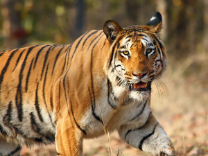 Nagzira Tiger By Vijay Phulwadhawa