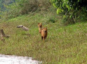 Periyar National Park foxes
