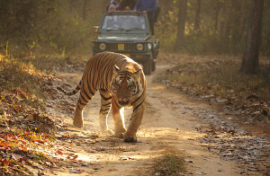Royal Bengal Tiger Kanha
