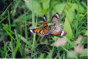 Striped Tiger butterflies at Biligiriranga Wildlife Sanctuary