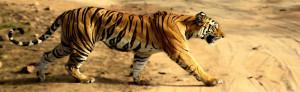 Tigress in Bandhavgarh NP