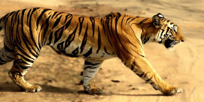 Tigress_in_Bandhavgarh_NP