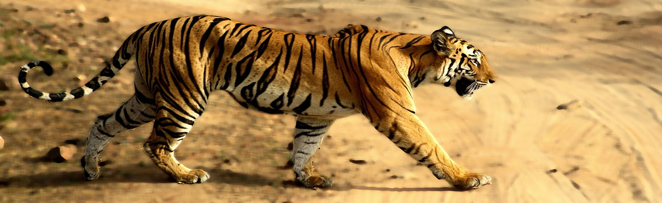 Tigress_in_Bandhavgarh_NP
