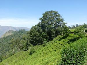 View of tea plantations from Munnar