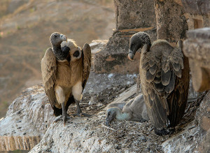 Vultures in the nest Orchha MP India edit