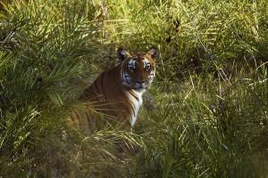 bandipur tiger