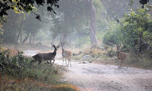deers in Jim Corbett National Park