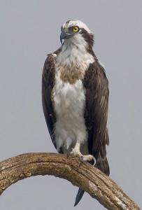 kabini osprey