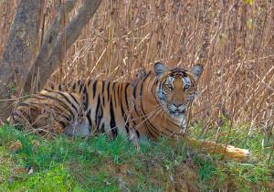 kabini tiger