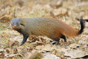 stripe necked mongoose
